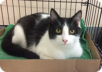 Domestic Shorthair Cat for adoption in East Brunswick, New Jersey - Othello