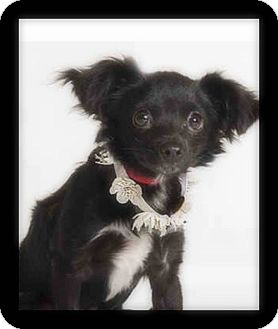 Papillon/Chihuahua Mix Puppy for adoption in Winchester, California - SAMMIE