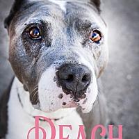 Adopt A Pet :: Peach - Cheney, KS