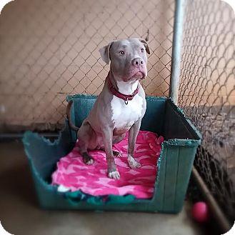 American Bulldog/Weimaraner Mix Dog for adoption in Manchester, New Hampshire - Mr Nice