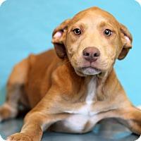 Adopt A Pet :: Candy Bear - Waldorf, MD