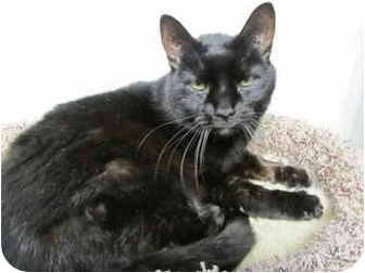 Domestic Shorthair Cat for adoption in Pascoag, Rhode Island - Cissy