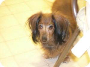 Dachshund Dog for adoption in Shawnee Mission, Kansas - Lilly Gia