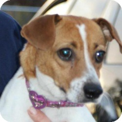 Jack Russell Terrier Mix Dog for adoption in Marlton, New Jersey - Georgia