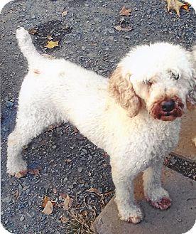 Poodle (Miniature)/Bichon Frise Mix Dog for adoption in Homer, New York - Josh
