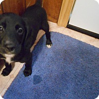Adopt A Pet :: Wilkes #1 Black Puppy Adopted! - Kannapolis, NC