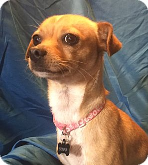 Chihuahua Mix Dog for adoption in San Leandro, California - Sienna
