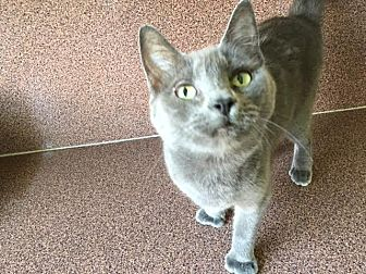 Hemingway/Polydactyl Cat for adoption in Sunny Isles Beach, Florida - Vera
