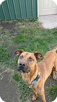 Boxer/Shepherd (Unknown Type) Mix Dog for adoption in Brookings, South Dakota - Manny