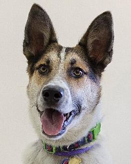 Shepherd (Unknown Type)/Australian Cattle Dog Mix Dog for adoption in Pt. Richmond, California - ROMAN