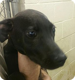 Labrador Retriever Mix Dog for adoption in Paducah, Kentucky - Zack