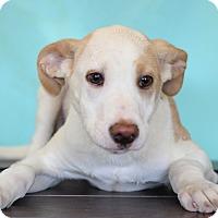 Adopt A Pet :: Zane - Waldorf, MD