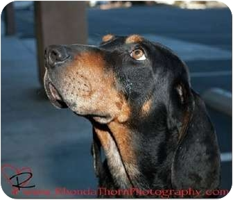 Bluetick Coonhound Mix Dog for adoption in Dallas, Texas - Accidentally in Love