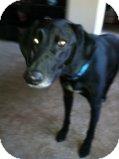 Whippet/Labrador Retriever Mix Dog for adoption in Alliance, Nebraska - Duke
