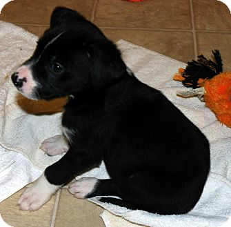Labrador Retriever/Boxer Mix Puppy for adoption in Huntsville, Alabama - Zeke