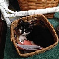 Domestic Shorthair Kitten for adoption in Newtown, Pennsylvania - Winnie
