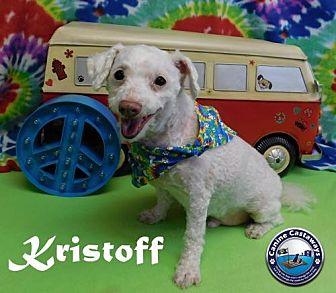 Poodle (Miniature) Dog for adoption in Arcadia, Florida - Kristoff
