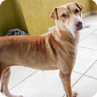 Labrador Retriever/Shar Pei Mix Dog for adoption in Marina del Rey, California - Corky