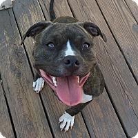 Adopt A Pet :: Stella - Newtown, CT