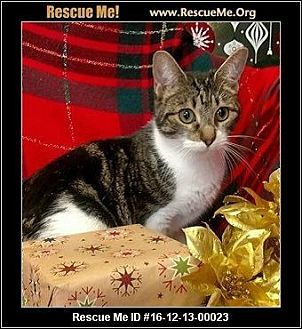 Domestic Shorthair Cat for adoption in Waldorf, Maryland - Clarice