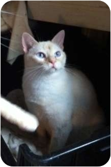 Siamese Cat for adoption in Austin, Texas - Louie IV