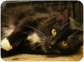Domestic Longhair Cat for adoption in Milford, Massachusetts - Mia