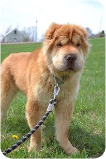 Golden Retriever/Shar Pei Mix Dog for adoption in Newport, Vermont - Scooby Doo
