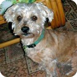 Yorkie, Yorkshire Terrier Mix Dog for adoption in Suwanee, Georgia - Missy
