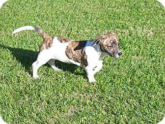 Beagle/Basset Hound Mix Puppy for adoption in Marietta, Georgia - Gabby