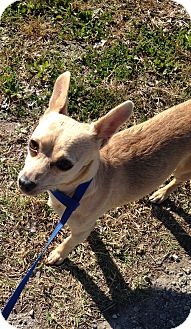 Chihuahua/Jack Russell Terrier Mix Dog for adoption in Beeville, Texas - Candy