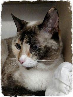 Siamese Cat for adoption in Pueblo West, Colorado - Morta