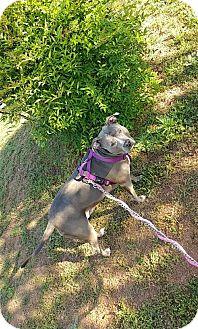 American Staffordshire Terrier Dog for adoption in Fulton, Missouri - Sookie--Georgia