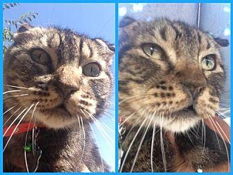 Domestic Shorthair Cat for adoption in Fresno, California - Floppy Ears