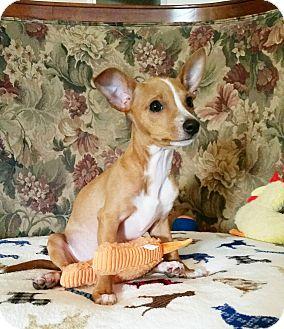 Chihuahua/Dachshund Mix Puppy for adoption in New Braunfels, Texas - Georgie