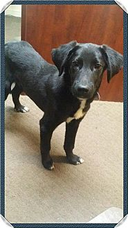 Labrador Retriever Mix Dog for adoption in Manchester, Connecticut - Jasper 1 pending adoption