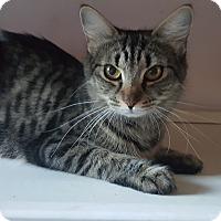 Adopt A Pet :: Sheba - Brockton, MA
