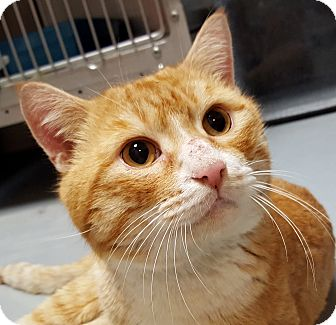 Domestic Shorthair Cat for adoption in Friendswood, Texas - Crackerjack