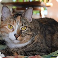 Domestic Shorthair Cat for adoption in jacksonville, Florida - WE'RE HAZEL AND HERMIONE, THE BEAUTIFUL SISTERS!