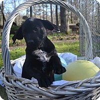 Adopt A Pet :: Clara - Manchester, NH