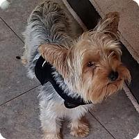 Adopt A Pet :: Taffy - Spring, TX