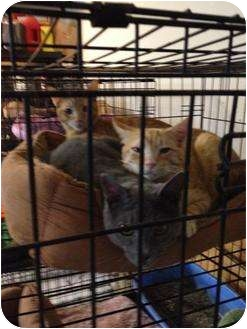 Domestic Shorthair Cat for adoption in Mobile, Alabama - Bud
