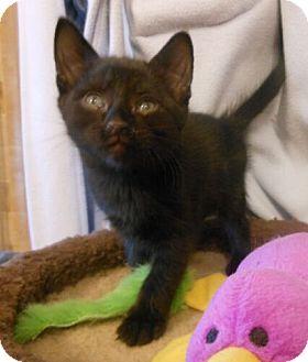 Domestic Shorthair Kitten for adoption in Reston, Virginia - Orchid