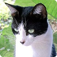Domestic Shorthair Cat for adoption in Palm City, Florida - Noele