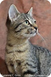 Domestic Shorthair Cat for adoption in New Orleans, Louisiana - Tallulah