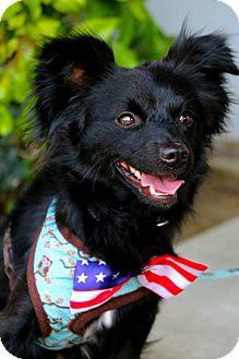Papillon Mix Dog for adoption in South El Monte, California - Bubba