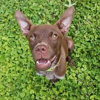 Adopt A Pet :: Junie B - Enfield, CT
