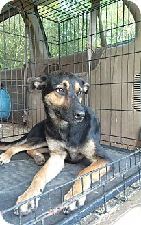 German Shepherd Dog/Doberman Pinscher Mix Dog for adoption in Jefferson, Texas - Watson