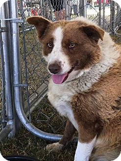 Border Collie Dog for adoption in Phelan, California - Lily