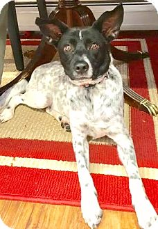 Australian Cattle Dog/Fox Terrier (Smooth) Mix Dog for adoption in Boulder, Colorado - Sammy-ADOPTION PENDING
