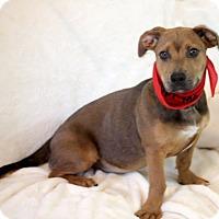 Adopt A Pet :: Cuddles - Dalton, GA